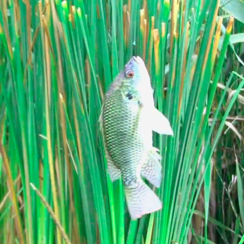Acuicultura the lake golf range puebla for Criadero de pescado tilapia